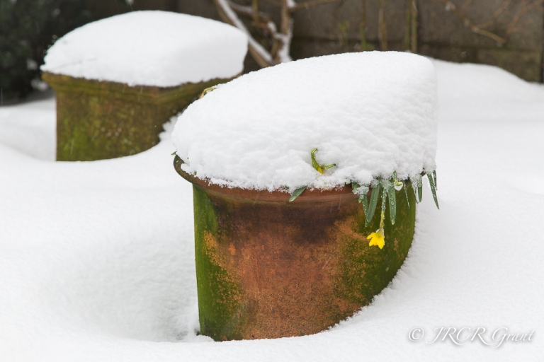 Daffodils fall foul of teh late snow
