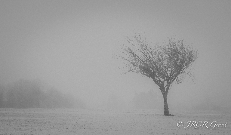A gnarled tree stands against a snow blizzard in a Cork Park, Ireland