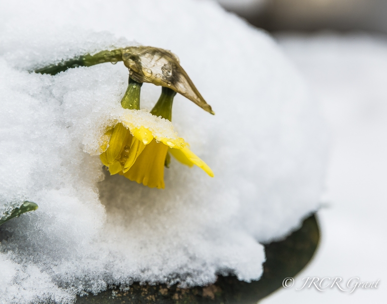 Daffodils felled by snow as spring storms strike