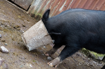 A black sow buries its head in a food bucket