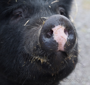 The pink snout of a black sow all covered in straw and muck