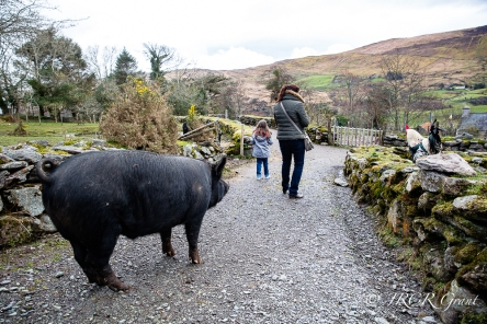 A black sow gives a send off to yet more visitors