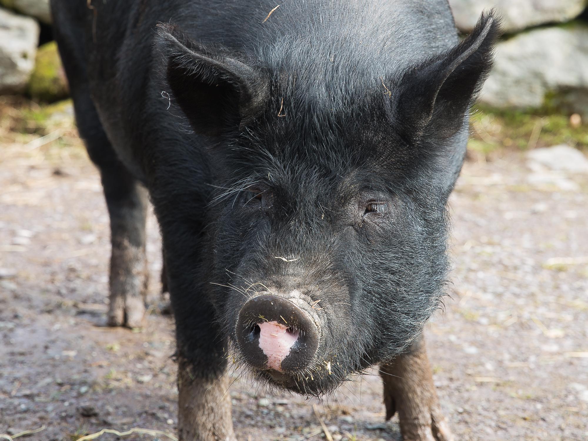 A black pig shows off its pink snout
