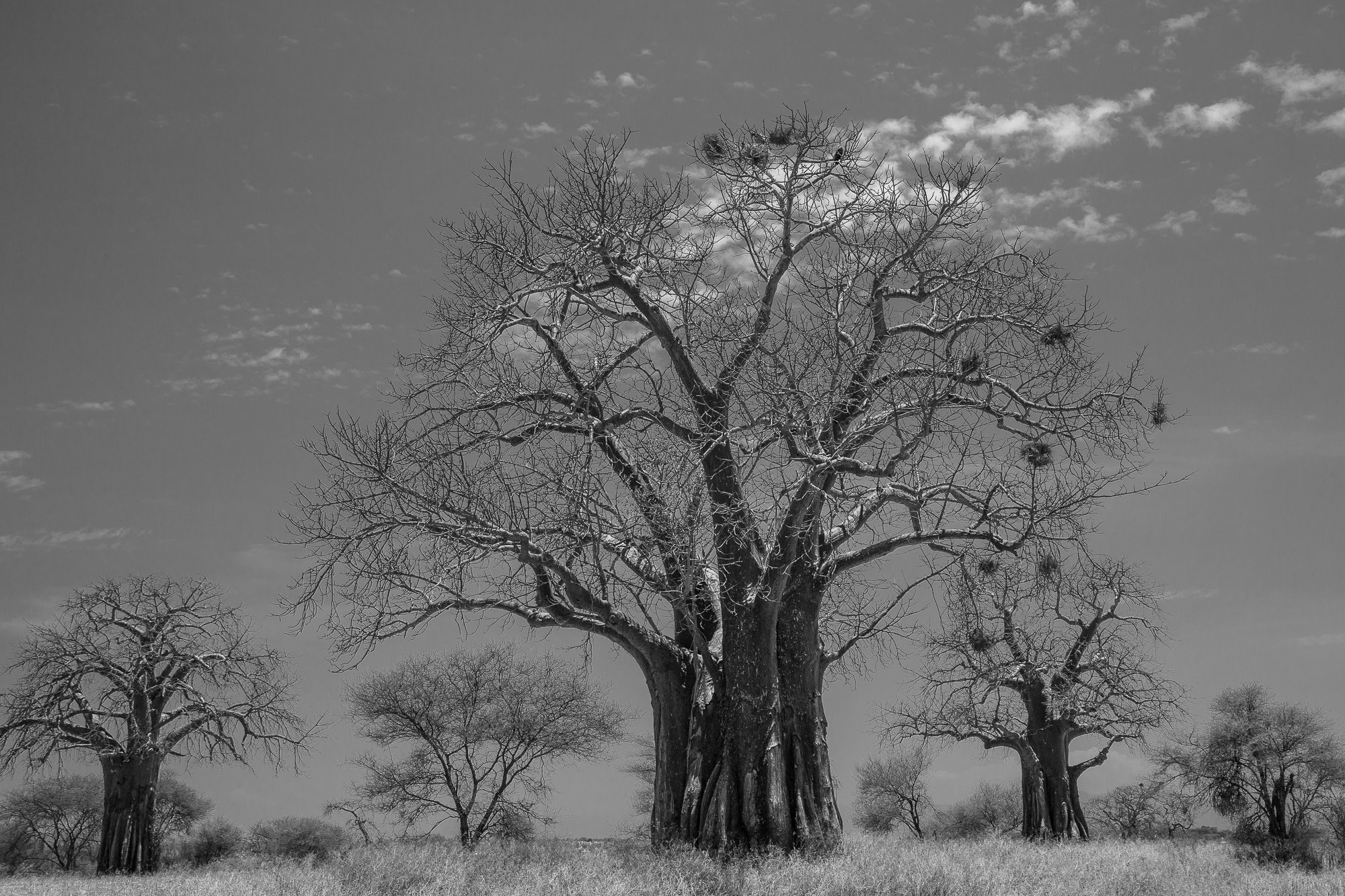 A baobab tree hosts a vulture, an eagle and stands proud in Tarangire Park, Tanzania