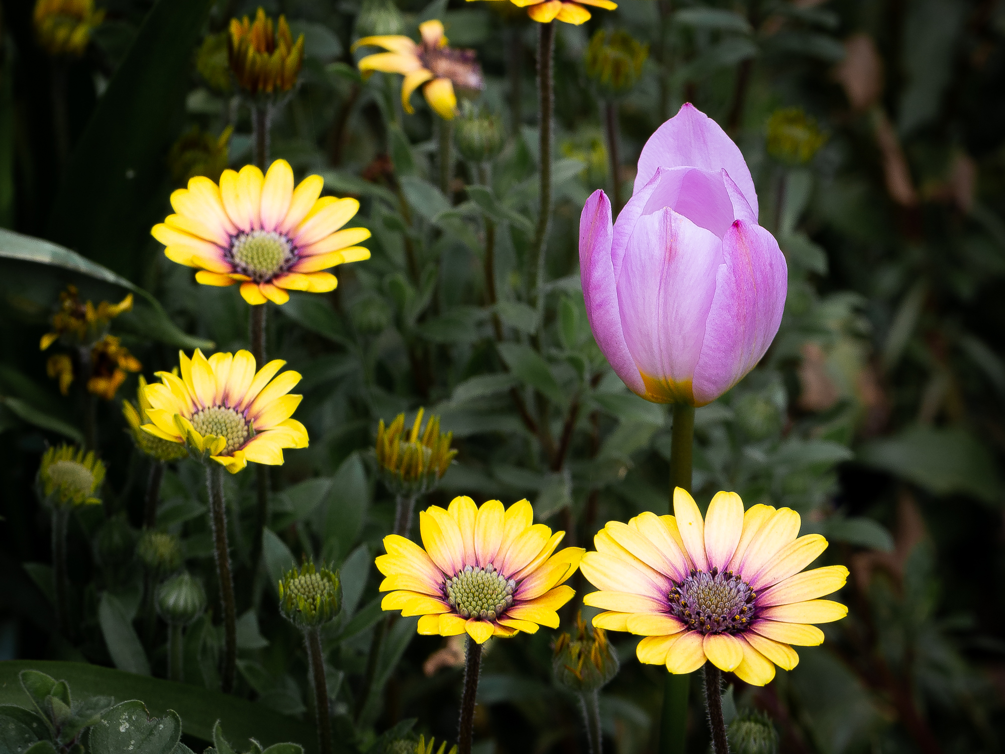 A tulip and osteospermum flowers display inverse colouring