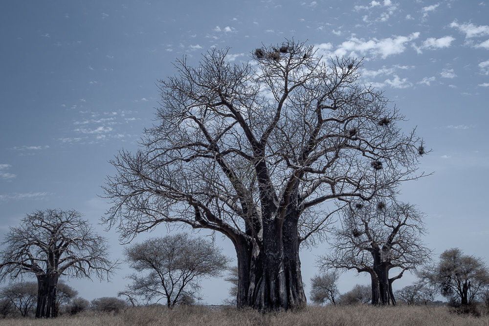 A karge baobab tree stands in the Tarangire National Park