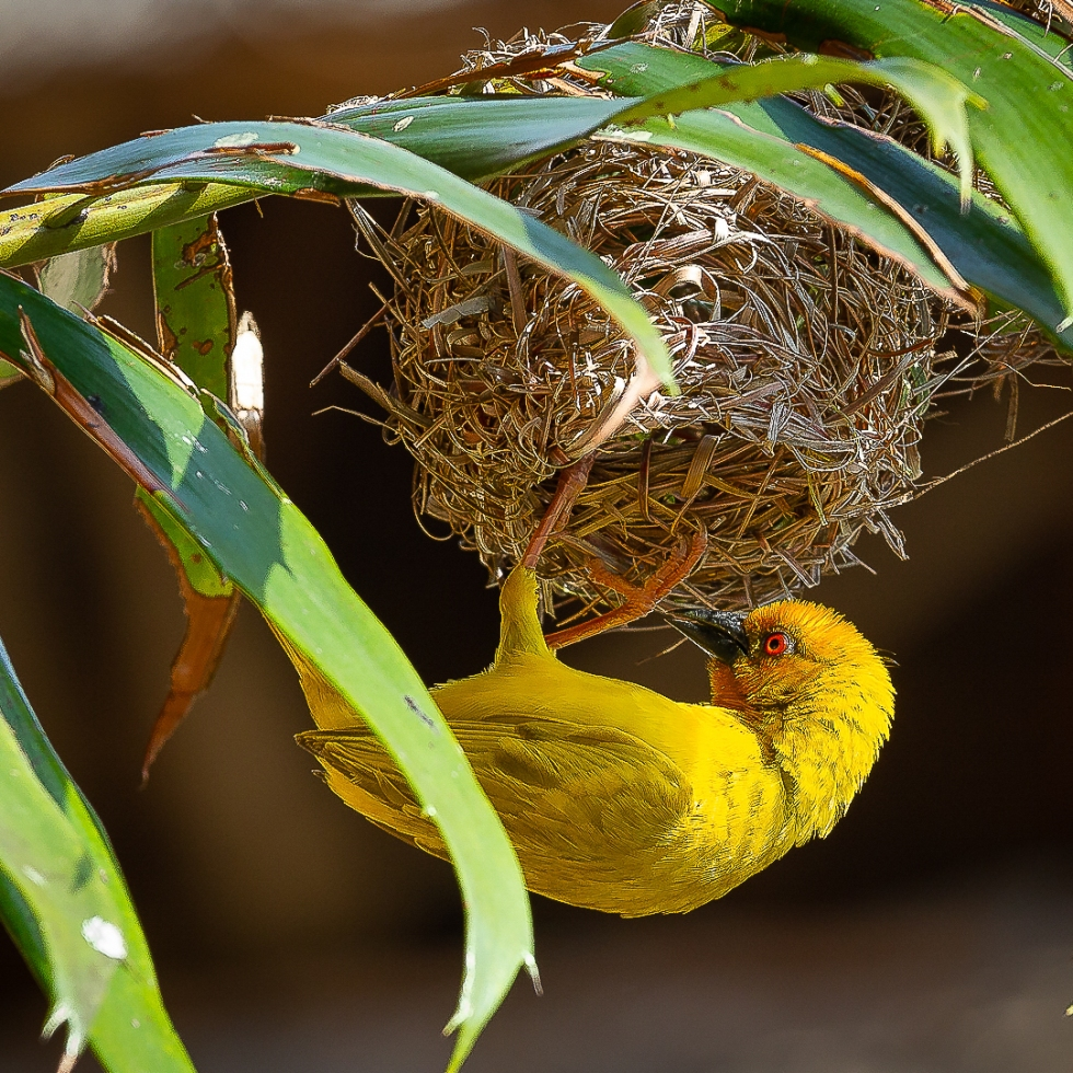 A weaver bird hangs upside down while making repairs to its nest