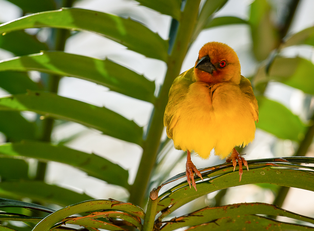 A weaver bird perches on a palm frond, its bony claws keeping it secure