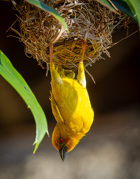 A weaver bird hangs vertically down as it surveys its surroundings