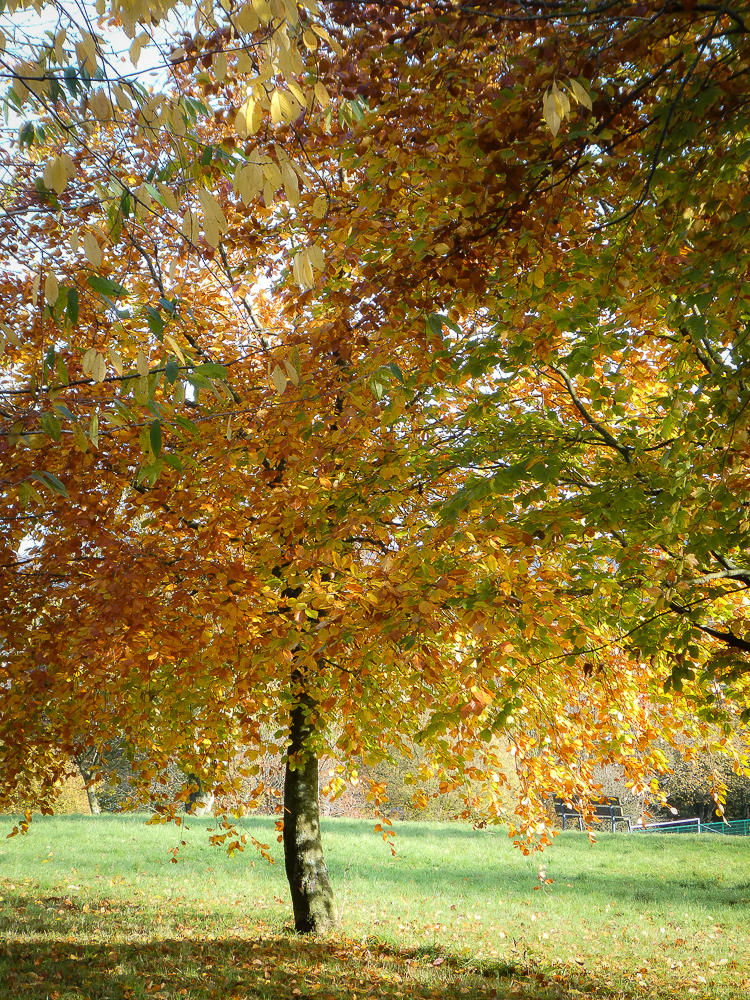 A tree wears its autumn colours well in Beaumount Park, Cork