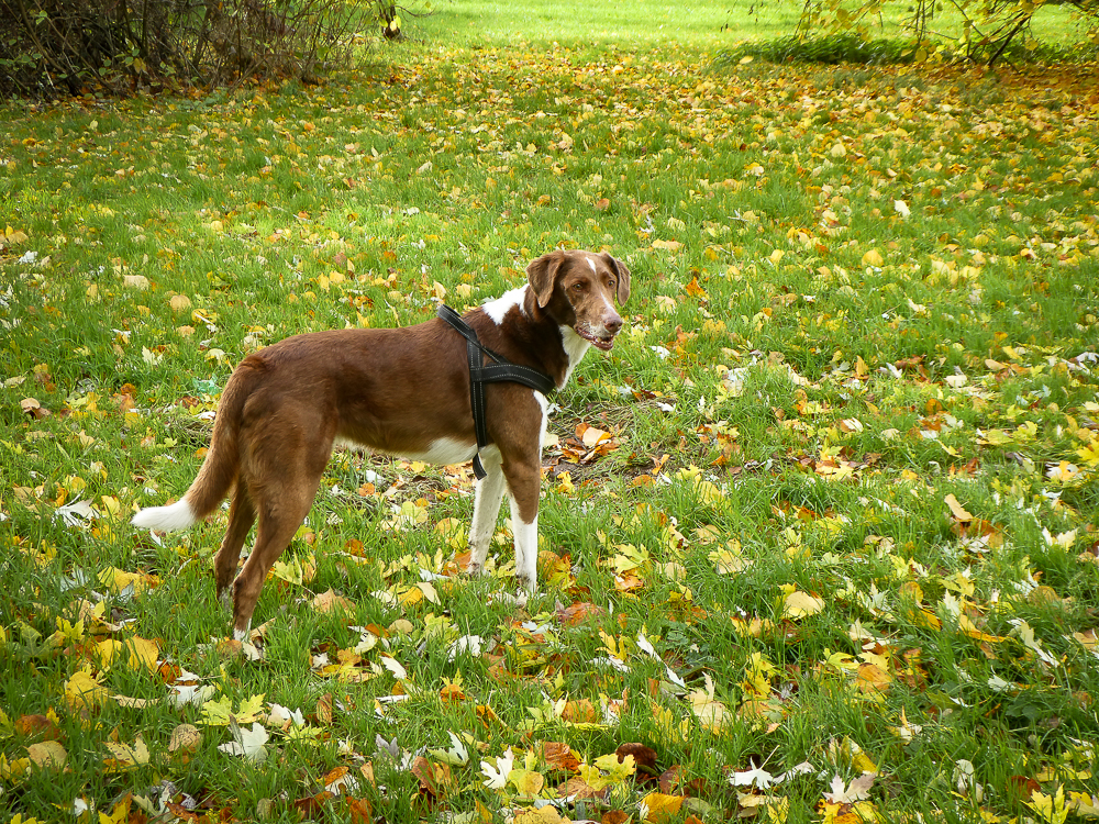 A beautiful large dog stands in grass speckled with autumn leaves, Cork
