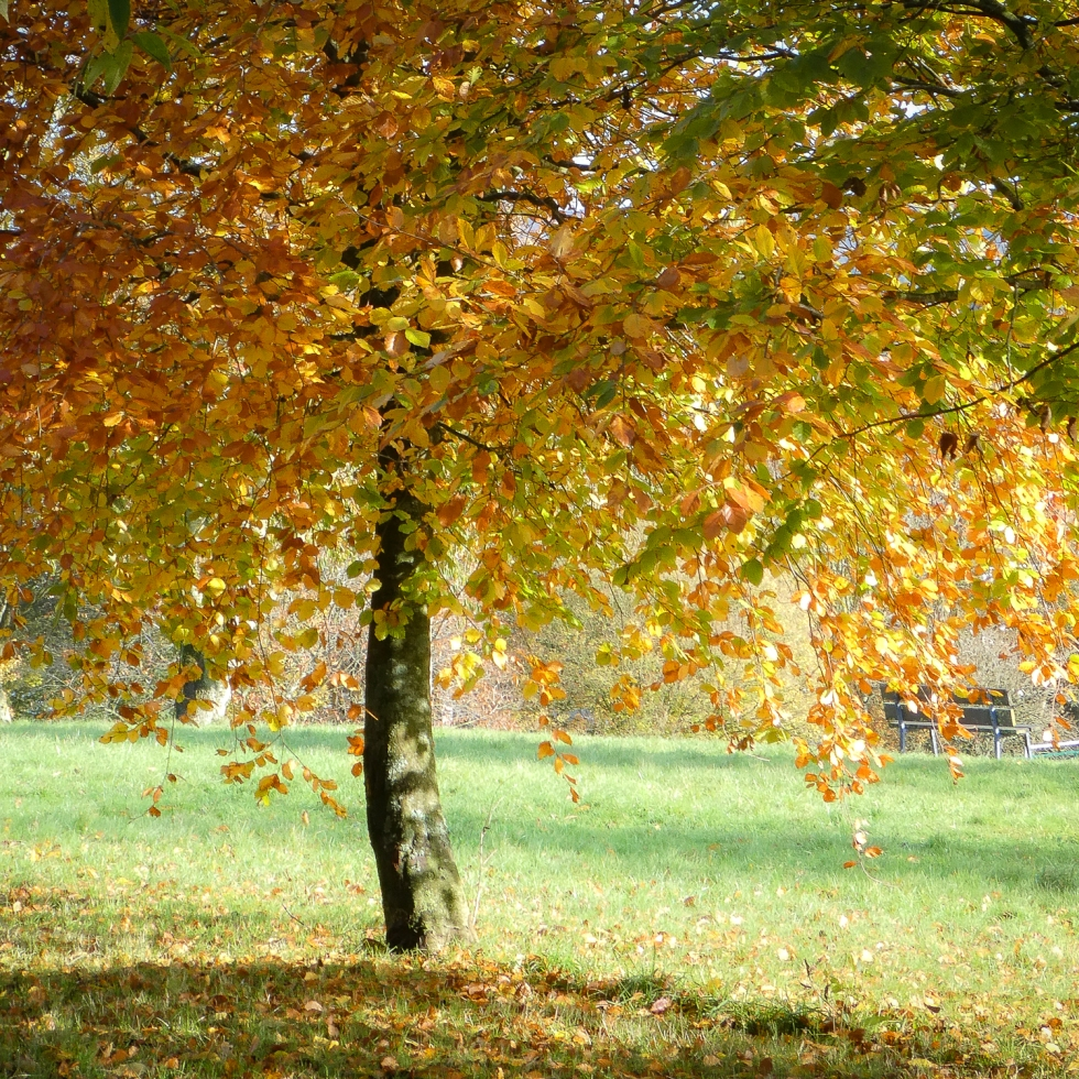 A tree weeps to the ground with the weight of its turning leaves; coins of gold, green, orange and every colour in between