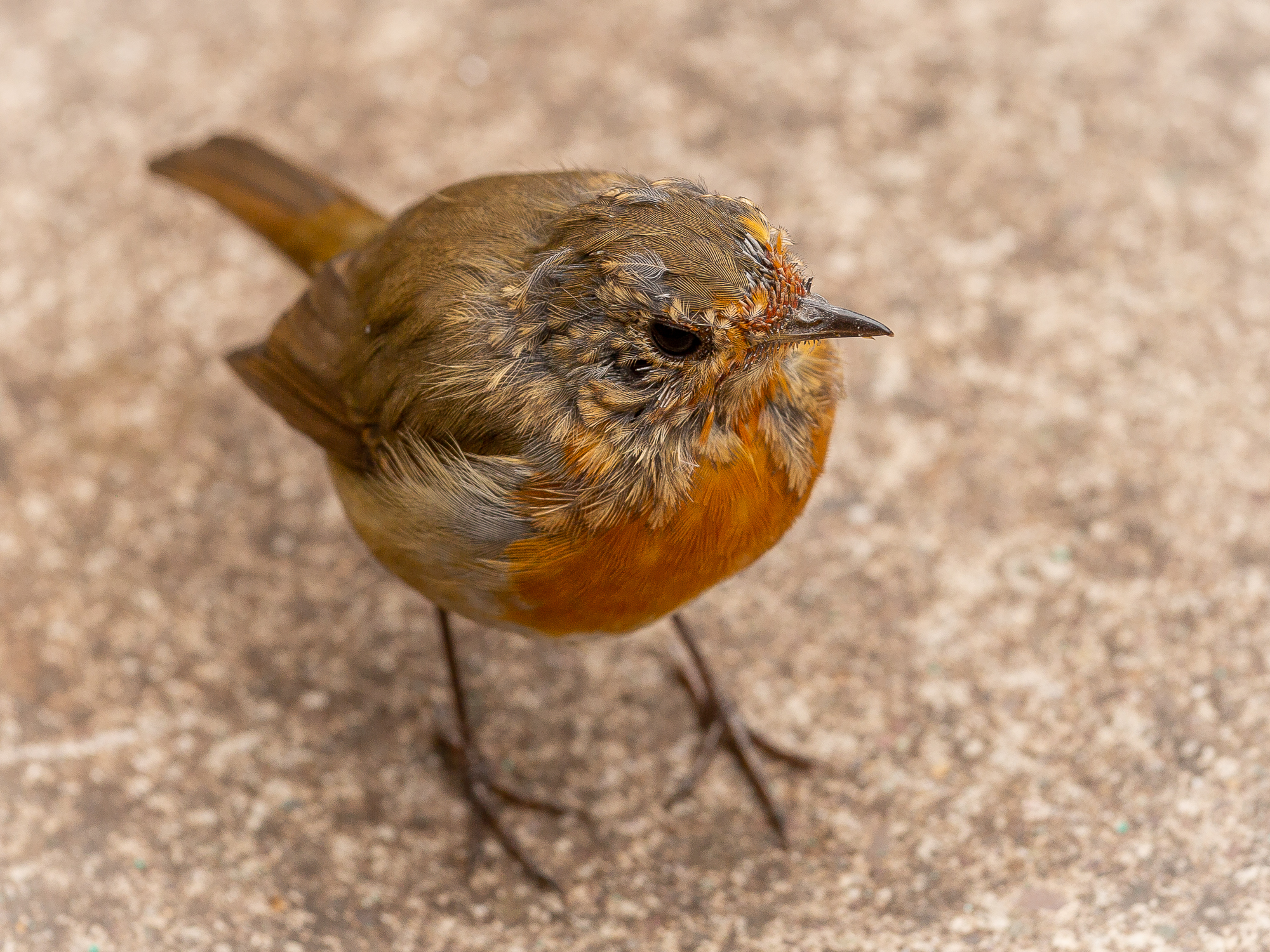 Juvenile Robin changes clothes