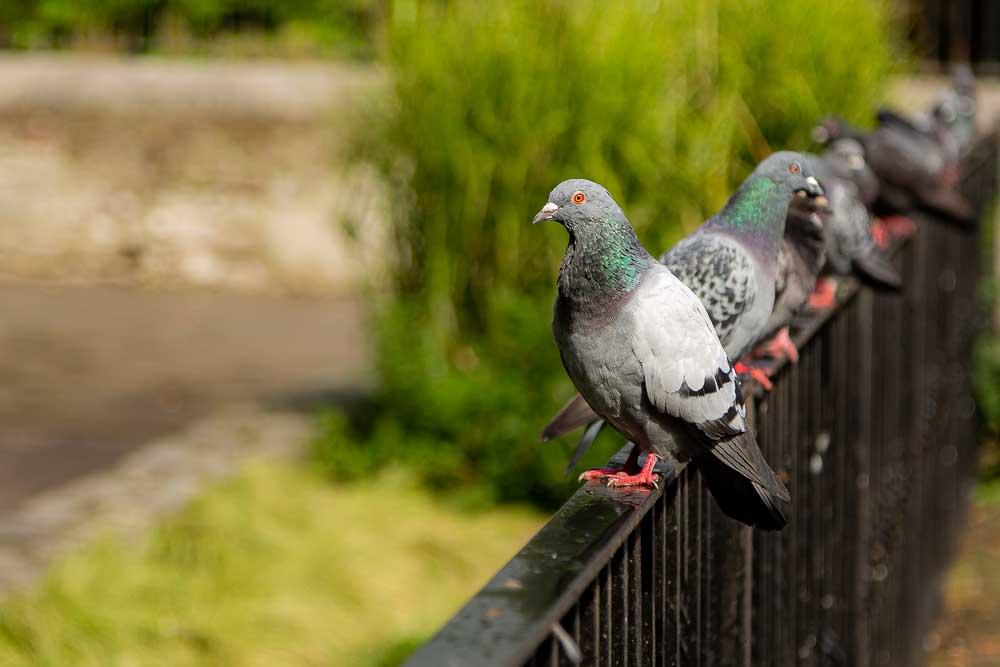 Pigeons line a railing in Bishop Lucey Park, Cork