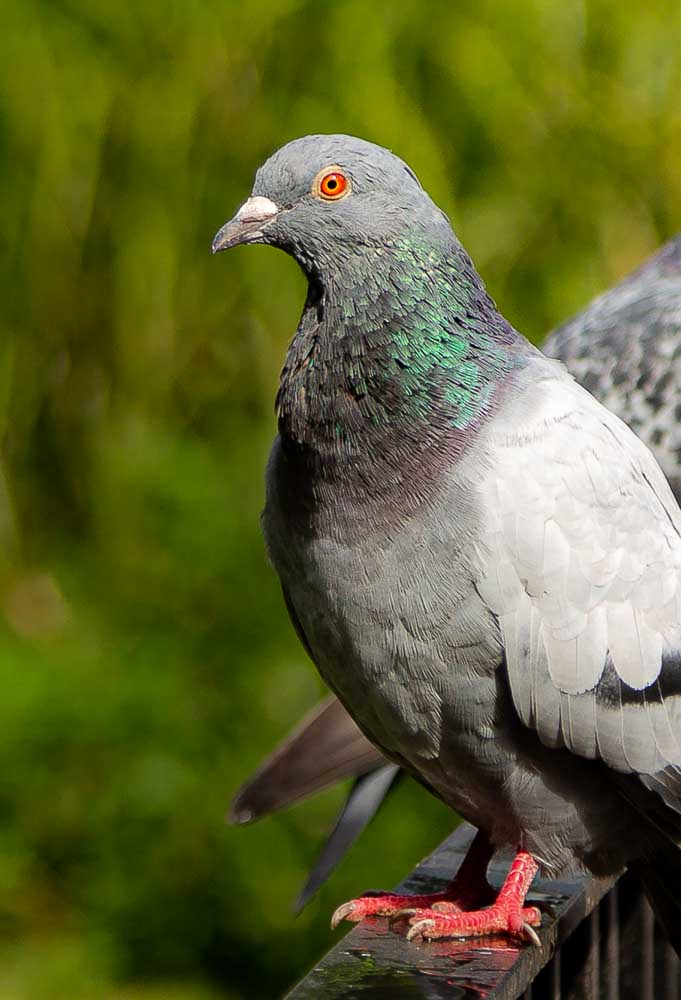 The humble pigeon with Louboutin feet and a sequined collar