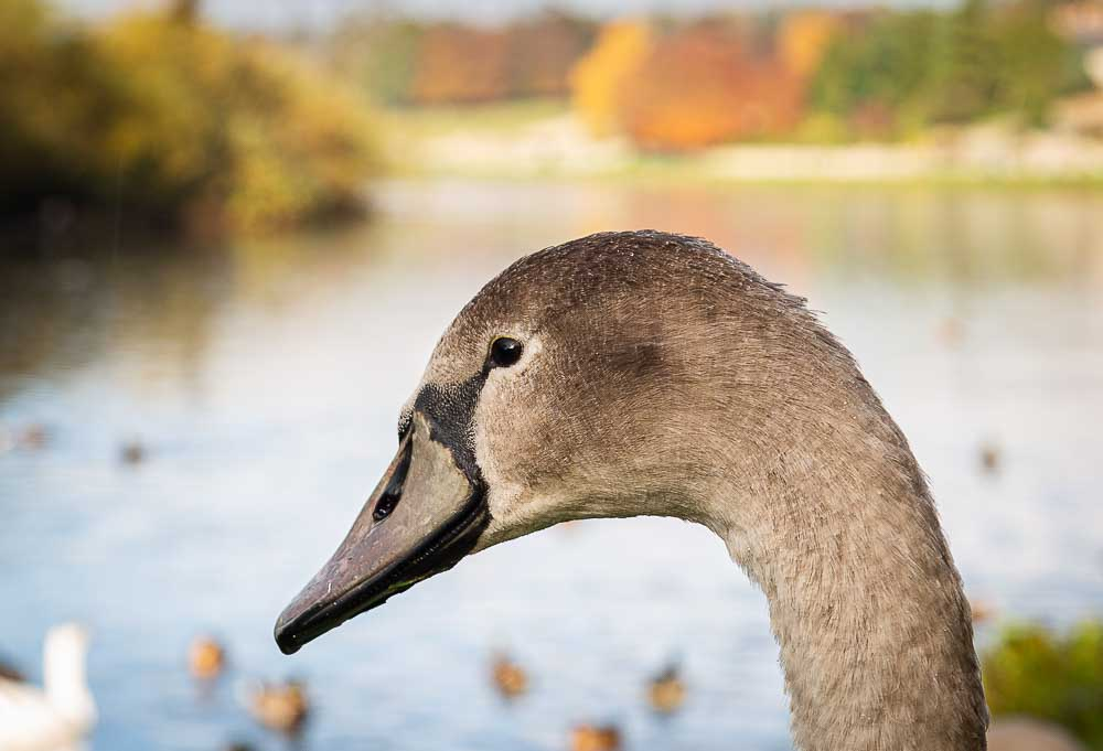 A cygnet sits on the banks of the River Tweed at Kelso