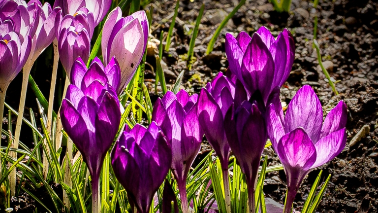 Crocuses bathing in sunlight become translucent