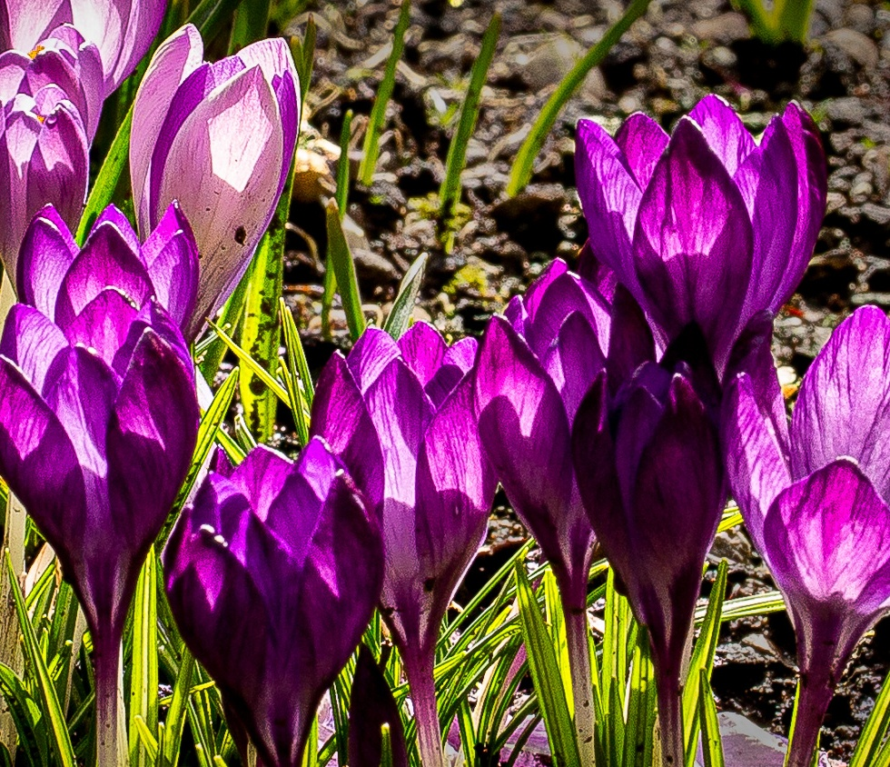 Purple and Lilac Crocuses compete for the sun