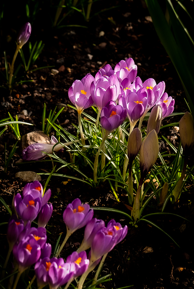 Lilac crocuses shine in the morning light