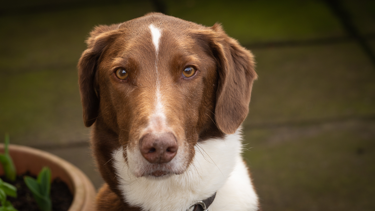 A mixed hound, brown and white