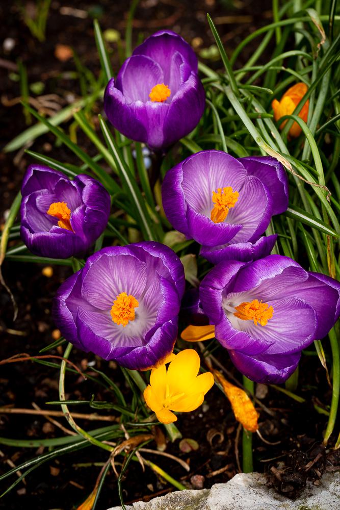 Purple crocuses spring to life