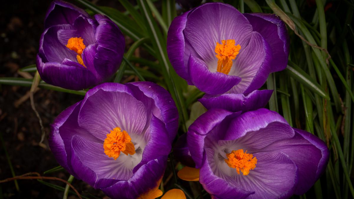 Purple crocuses with orange stamen