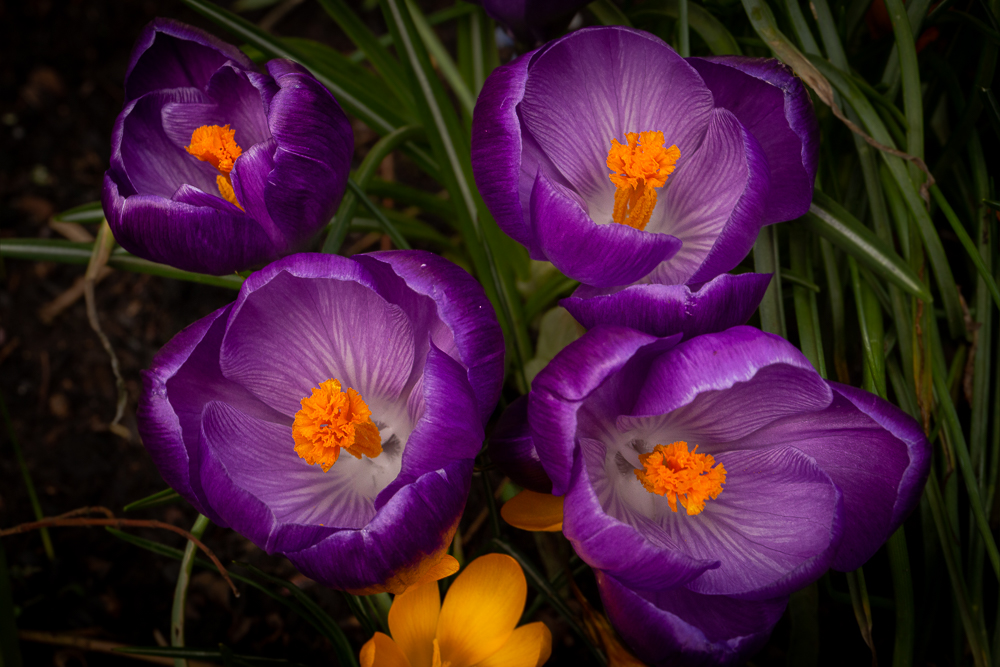 Four purple crocuses rise up to celebrate the coming of Spring