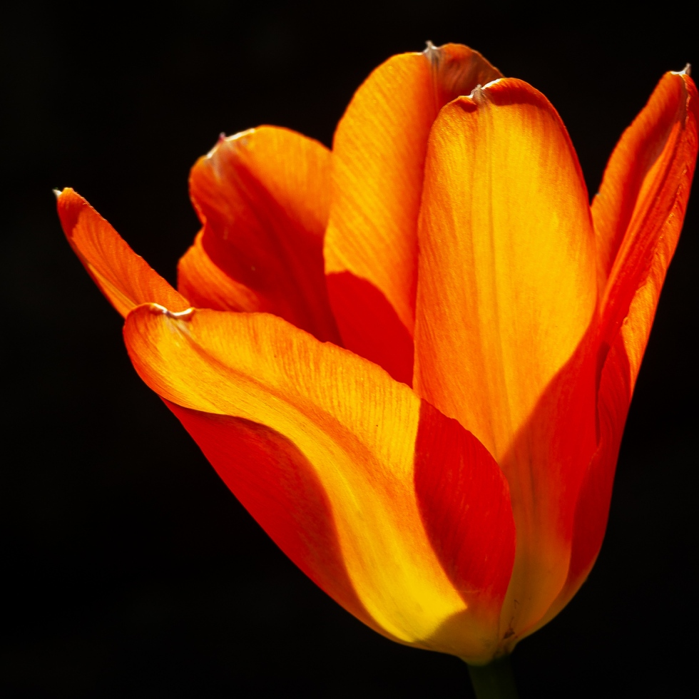An orange and red tulip cast in sunlight mimics dancing flames