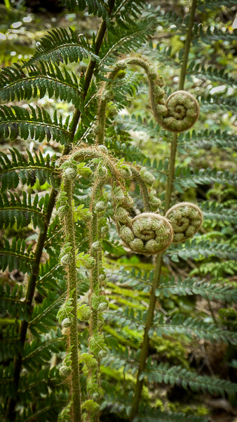 Bracken stalks resemble walking sticks as they expand further in their search for the light and growth