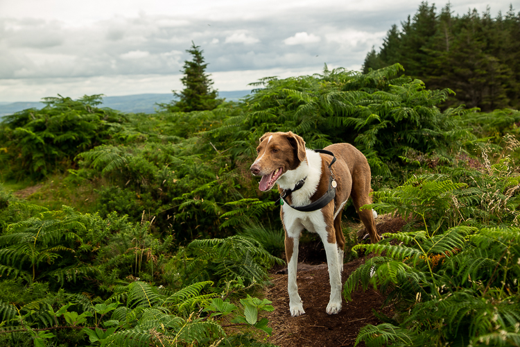 A hound pauses in amongst the bracken