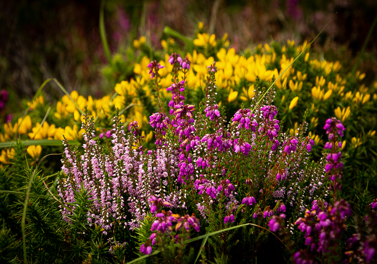 Heather and gorse provide colour to the hillside