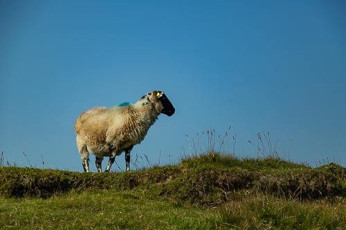 A Scottish Blackface sheep keeps an eye on activity in the Galtey mountains
