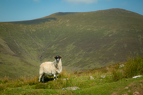 Whether it's Galtymore or the local sheep, both stand proudly for the camera